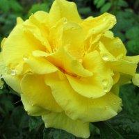 Под летним дождём... :: Тамара (st.tamara)