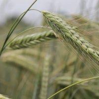 пшеница :: Ирина Рыкина