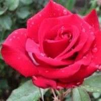 Пурпурно-красная в капельках дождя... :: Тамара (st.tamara)