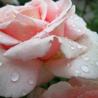 Слёзы прекрасной розы... :: Тамара (st.tamara)