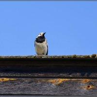на крыше дома своего) :: linnud
