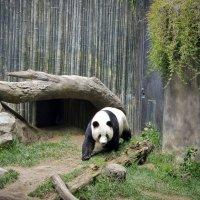 Панда. :: Барбара