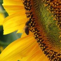 Пчёлка в подсолнухе :: Marina Timoveewa