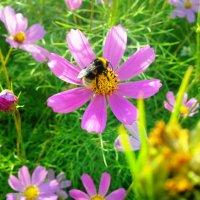 Шмель на цветке :: Serg