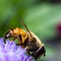 пчёлка :: Денис Сидельников
