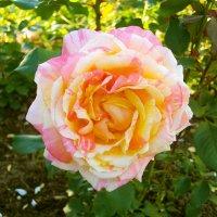 Роза очарование! :: Лия ☼