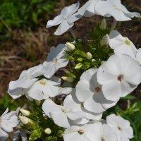 Белые флоксы. :: zoja