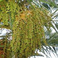 Финиковая пальма :: Валерий Судачок