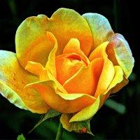 Как хороши, как свежи были розы В моем саду! Как взор прельщали мой! :: Александр Корчемный
