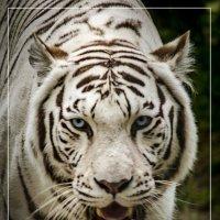 Белый тигр :: Татьяна Степанова