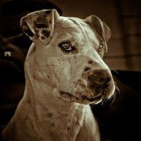 Милый пес за стеклом чужого авто. :: isaich