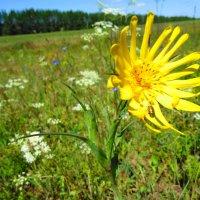 полевые цветы :: Михаил Святов