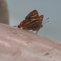 Наблюдательная бабочка :: Natiko Kim