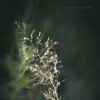 Серия. Травы, травы, травы... :: Лилия *