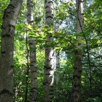 Губинский лес :: галина