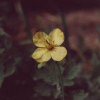 Жёлтый цветик семицветик :: Света Кондрашова