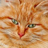 Ещё один из многочисленных котят Муси... :: Татьяна Котова