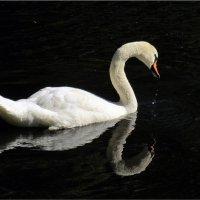 лебедь :: Татьяна Осипова(Deni2048)