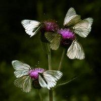 Нашествие бабочек... :: Sergey Apinis