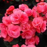 Dasty Rose :: laana laadas