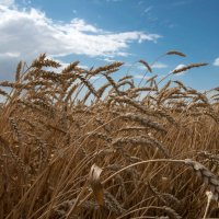 Пшеница :: Наталия Панчева