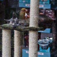 В зоомагазине-витрина2-из серии кошки очарование моё! :: Shmual Hava Retro