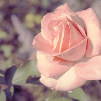 Rose. :: Nicholas SfN