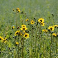 Что-то жёлтое на гороховом поле..... :: Сергей Заболотский