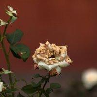 пожохлий квітка :: МищЪя Бульбо