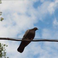 голуб какета на дроті :: МищЪя Бульбо