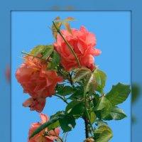 Болгарские розы 3 :: Владимир Хатмулин