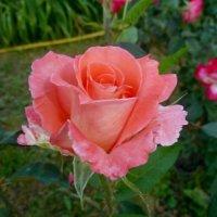 Нежная роза. :: Чария Зоя