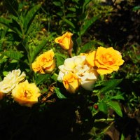 Litlle Yellow Roses :: Stephanie Plebeyskaya