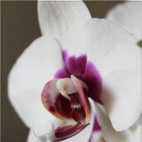 орхидея :: Наталья С