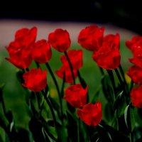 Тюльпаны :: виктория Скрыльникова