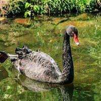 А черный лебедь на пруду.... :: GALINA