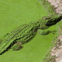 Зелёненький он был...))) :: Павел Коротун
