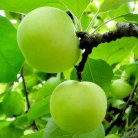 Первые яблочки - белый налив :: Татьяна Нижаде