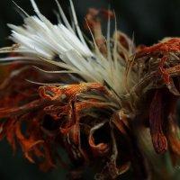 Так умирают цветы... :: Юрий Морозов