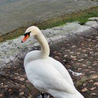 Лебедь :: Лина Пушок