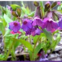 Весеннее цветение :: Любовь Чунарёва
