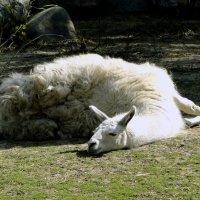 Сиеста для ламы :: Елена Шемякина