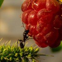 муравей и ягодка :: Алена Рыжова