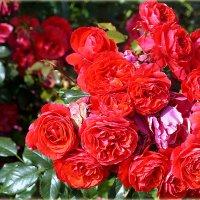 Розы... :: Наталья Агеева