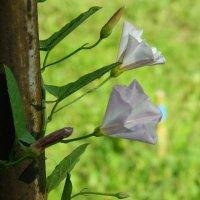 городские цветы :: лена палюшина