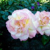 Розы! :: Ирина