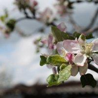 Цветущая яблонь :: Ольга )