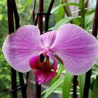 Орхидея ! :: Ирина