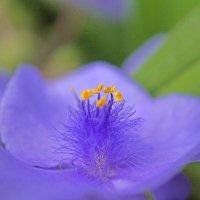 Традесканция цветет :: Irina -