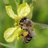 пчела :: Ольга Анянова